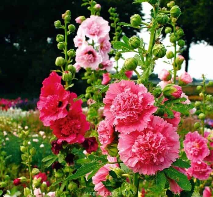 Hoa mãn đình hồng kép