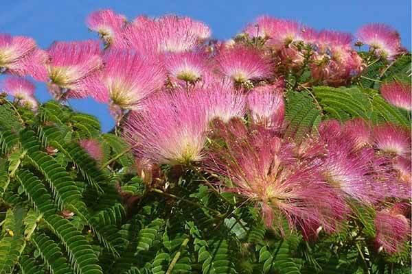Cây me tây khi trưởng thành cho bóng mát và cho hoa rất đẹp