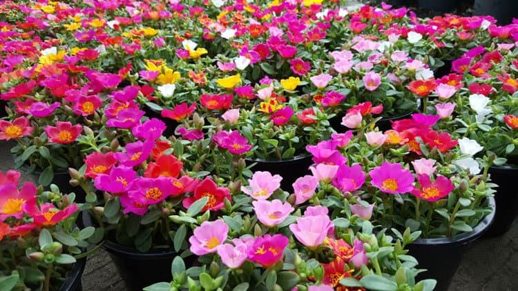 Hoa sam được trồng rất phổ biến ở nước ta