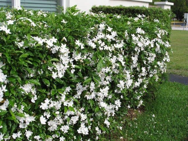 Hoa ngọc bút trồng bằng cách giâm cành nhanh phát triển và mang những đặc tính của cây mẹ