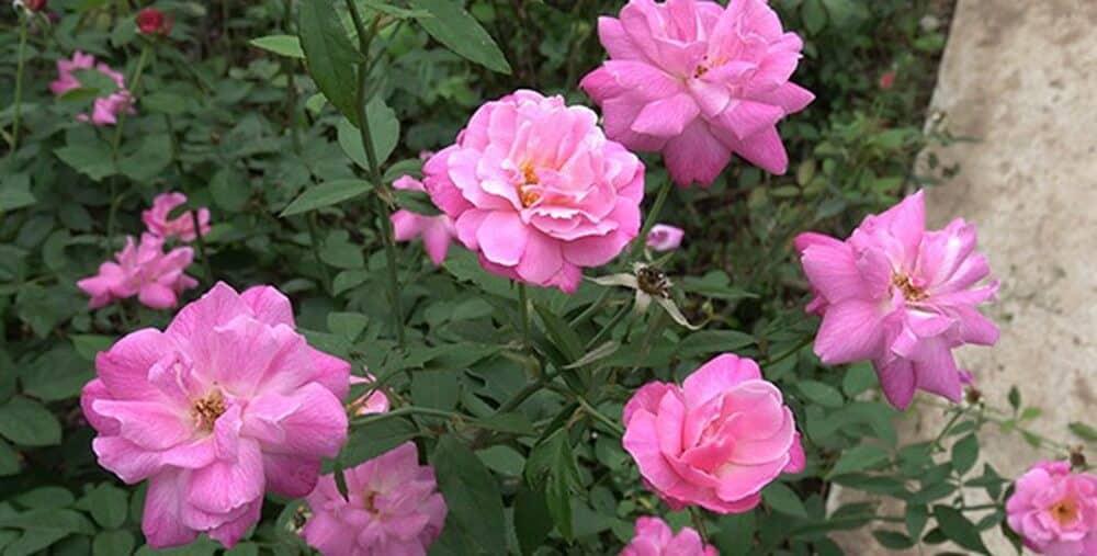 Hình ảnh hoa hồng quế mang ý nghĩa tốt đẹp