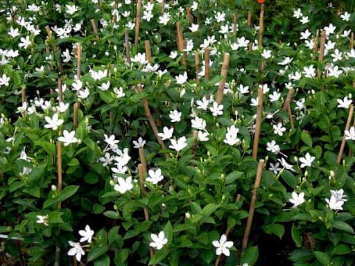 Hoa ngọc bút