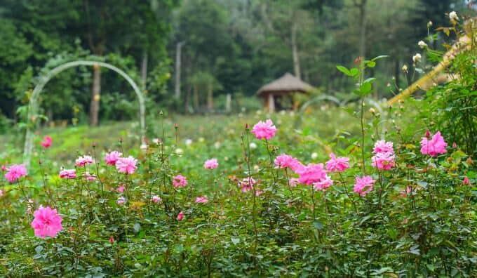 Hình ảnh vườn hoa hồng quế